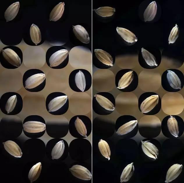 李天元《转基因和非转基因小麦》.jpg